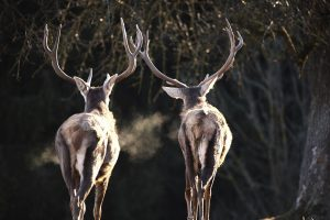 Zwei Hirsche im Herbst, Ansicht von Hinten